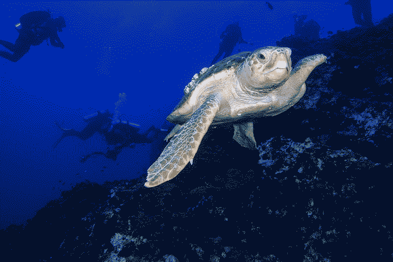 A loggerhead turtle in the ocean with marine biologists in the background